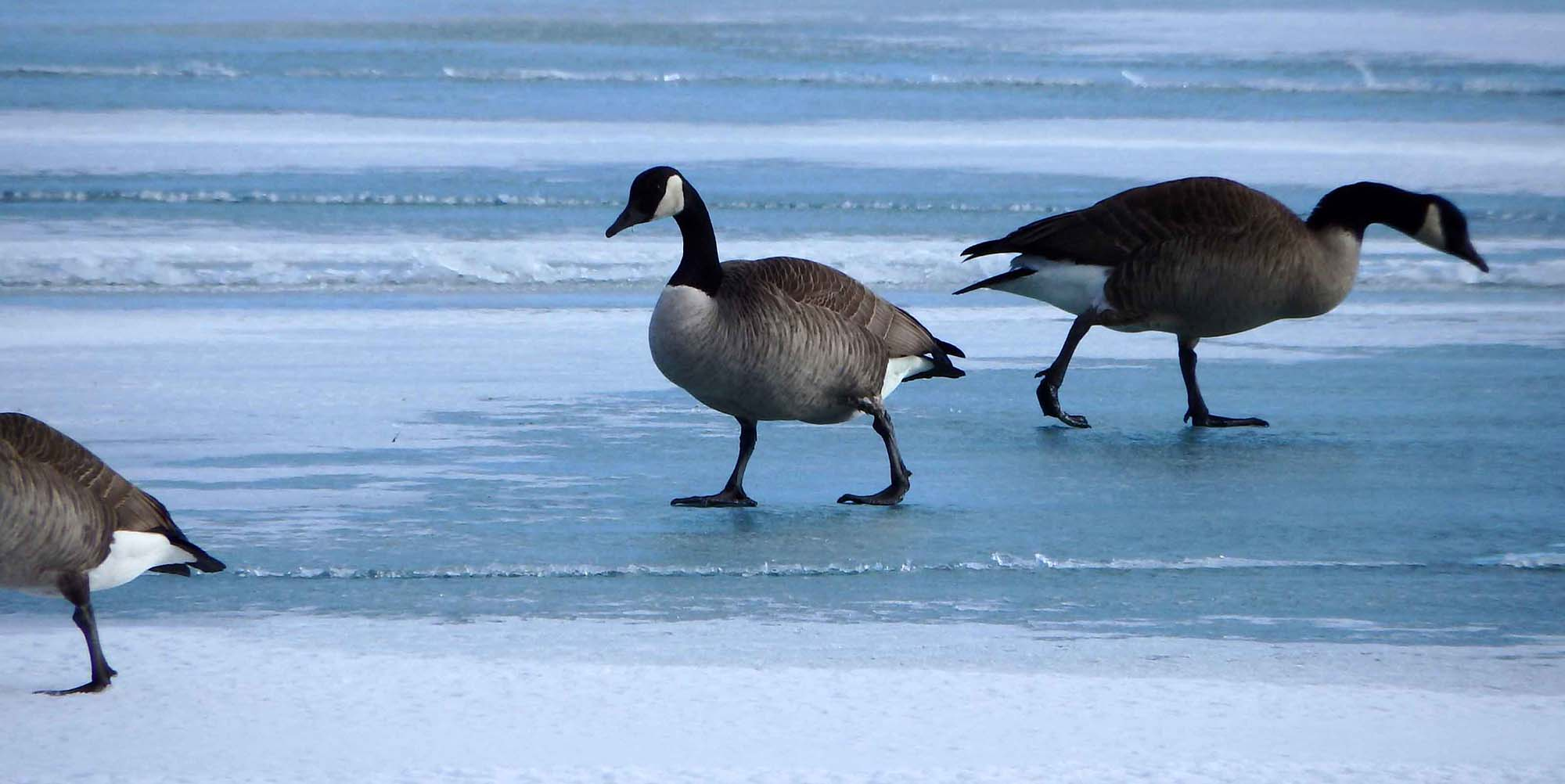 Geese on Chicago's lakefront in winter