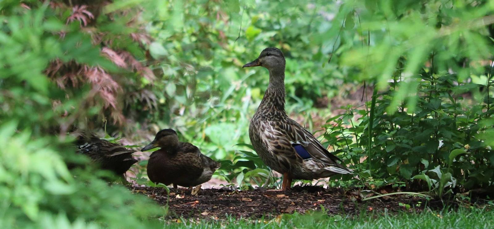 the ducks of botany pond the university of chicago magazine