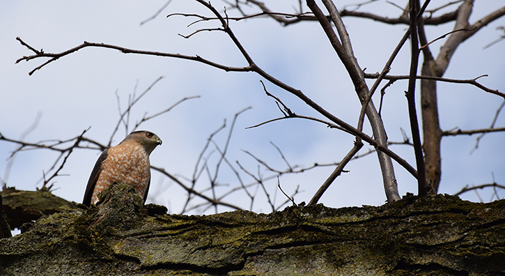 A Cooper's hawk on the quad