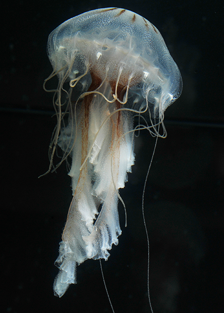 A lion's mane jellyfish.