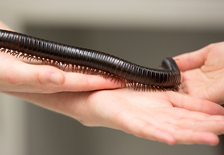 LaBarbera's pet millipede.
