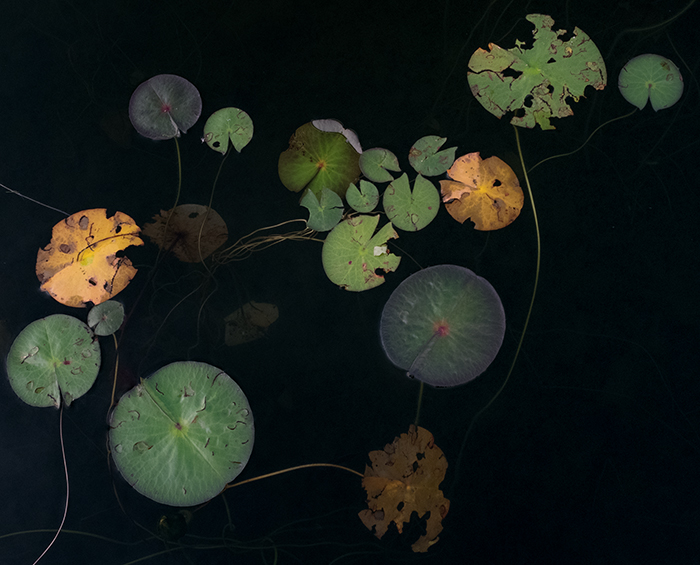 Photo of lilly pads