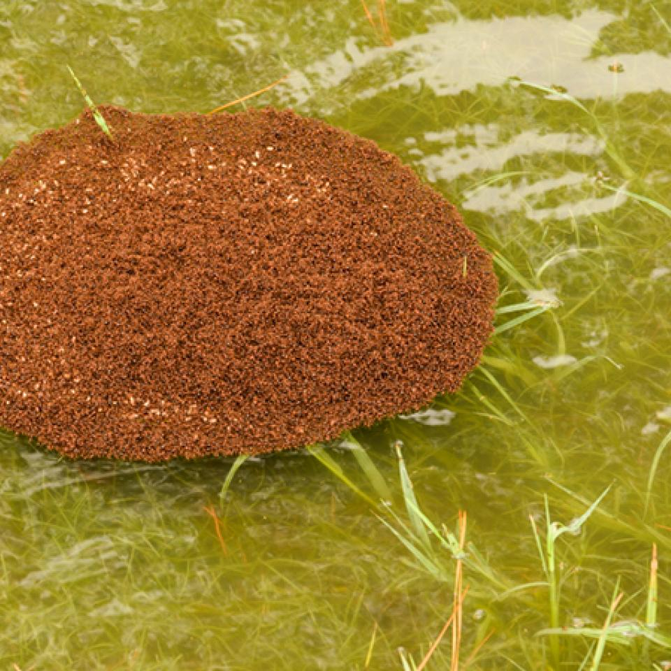 Floating fire ants colony